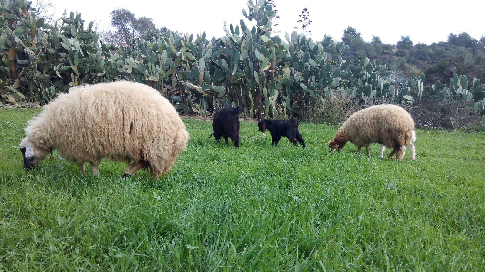 Otlayan koyun ve keçiler