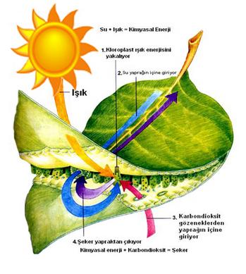 Fotosentez nedir,Fotosentez ne demektir,Fotosentez hakkında bilgi ve açıklama